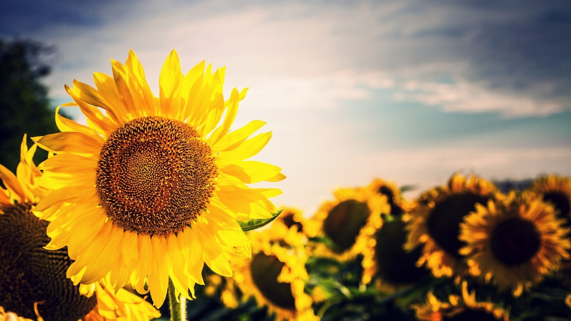 The sunflower wallpapers image that you can use for decorating